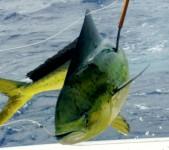 Sport Fishing near Maui for Mahi Mahi