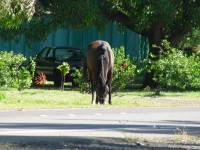 A horse on Molokai along the main road