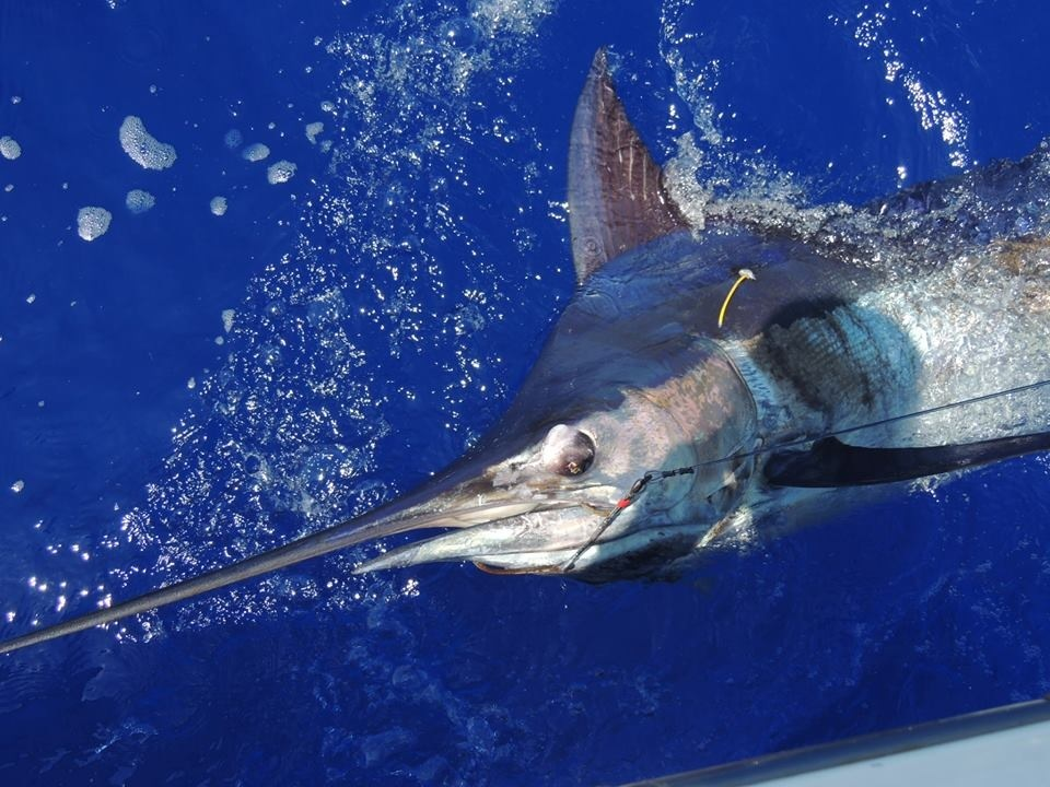 Maui Sport Fishing For Marlin In Hawaii Maui Sights