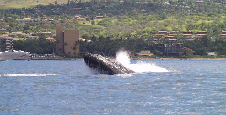 Whale Watching while fishing off Maui, Hawaii